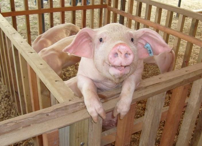 Aviso de Bromatología a productores de cerdos